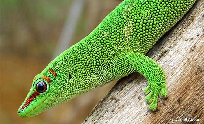 Madagascar day gecko Madagascar by Daniel Austin
