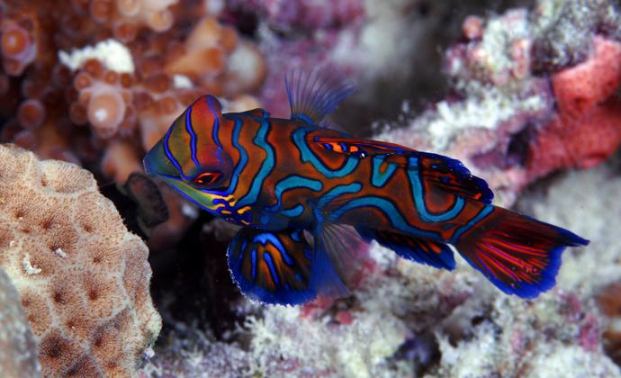 Mandarinfish Mabul Island Malaysia by Scott Bennett