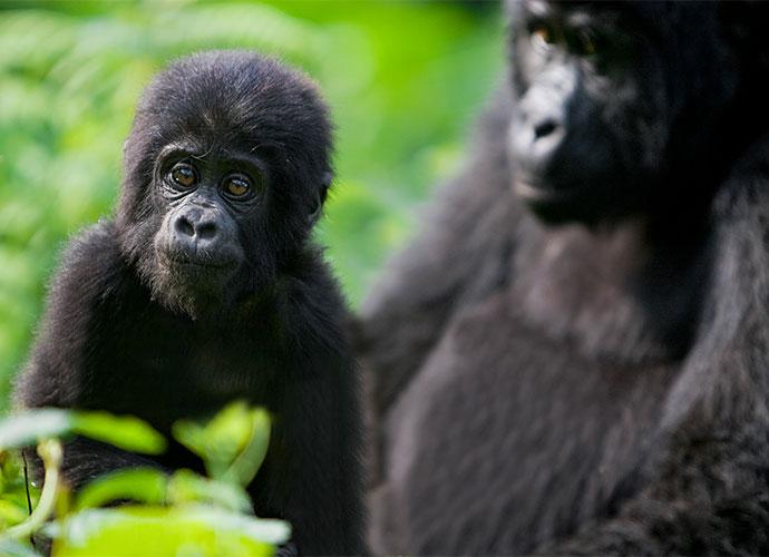 Gorillas Bwindi National Park Uganda by letusgophoto