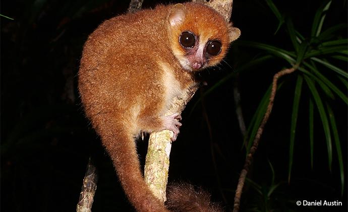 Mouse lemur Madagascar by Daniel Austin