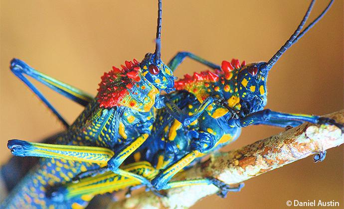 rainbow milkweed locusts Madagascar by Daniel Austin