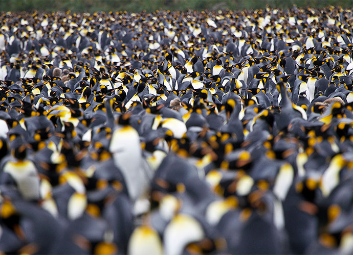 King penguins South Georgia by letusgophoto