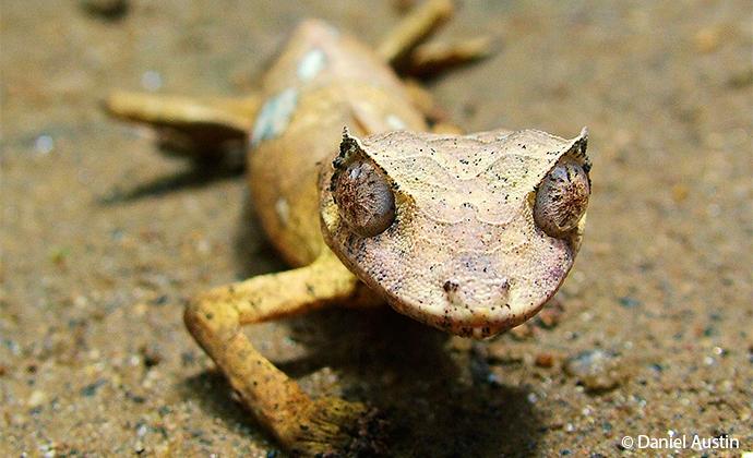satanic leaf-tailed gecko Madagascar by Daniel Austin