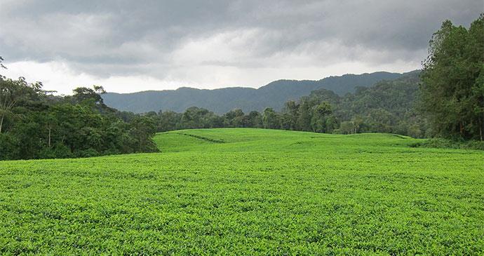 Tea plantation Rwanda by letusgophoto