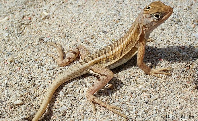 Three-eyed lizard Madagascar by Daniel Austin