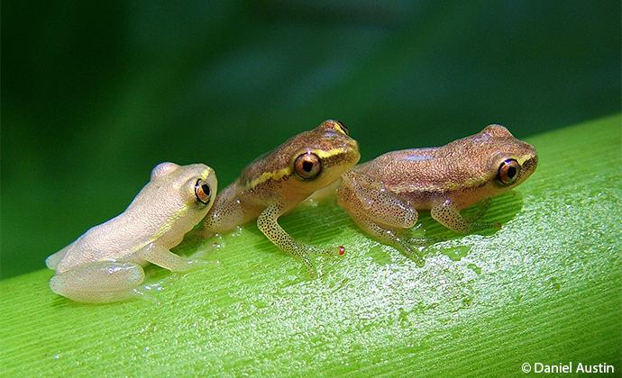 trio of Madagascae reed frogs Madagascar by Daniel Austin