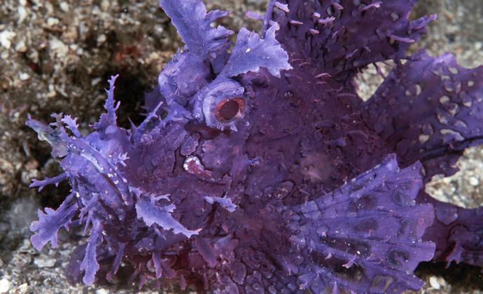 Weedy scorpionfish Ambon Indonesia by Scott Bennett