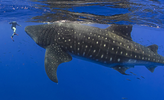Whale shark St Helena by Scott Bennett