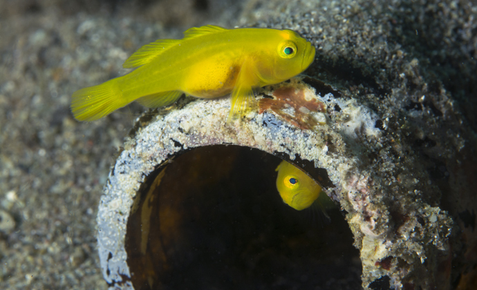 Yellow gobies Anilao Philippines by Scott Bennett