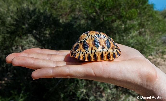 young radiated tortoise Madagascar by Daniel Austin