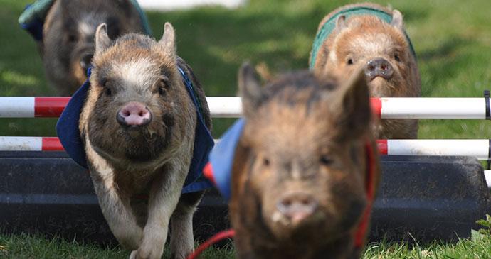 Pigs at Pennywell Farm Devon by Pennywell Farm