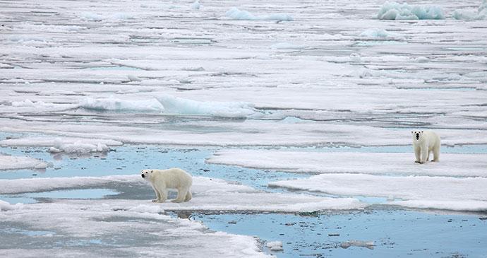 Polar bears © Vladimir Melnik
