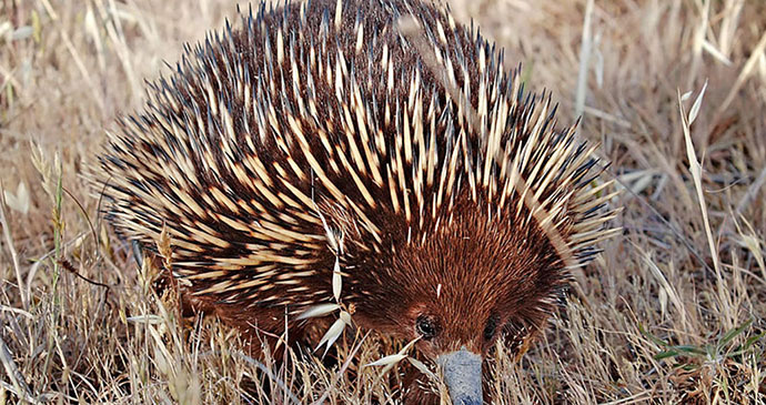 Short-beaked echidna by Fir0002, Wikimedia Commons